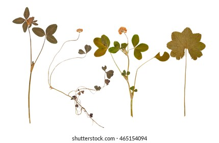 Set of wild dry pressed flowers and leaves, isolated