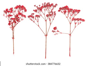Set of wild dry red pressed flowers isolated
