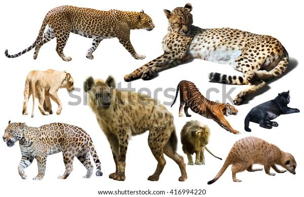 Set Wild Mammals Isolated Over White Stock Photo (Edit Now) 416994220