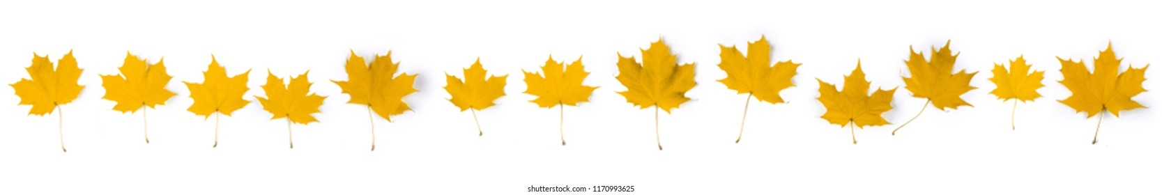 Set of yellow autumn maple leaves isolated over white background
