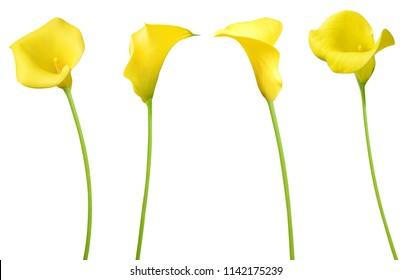 set of yellow calla flowers isolated