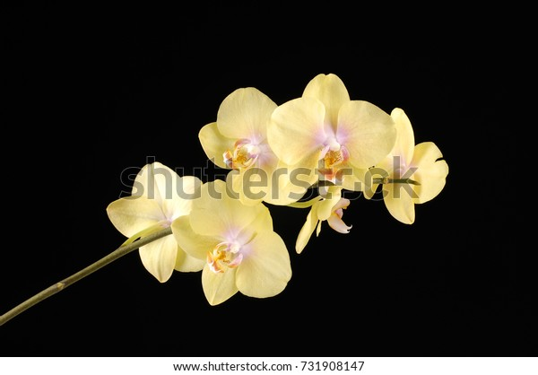 Set of yellow orchid on a black background