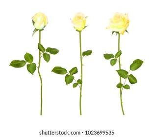 set of yellow rose flower. 3d roses isolated on transparent,  illustration. Realistic flowers  collection