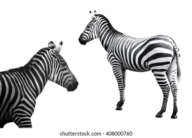 Set of zebra image collection isolated over white background