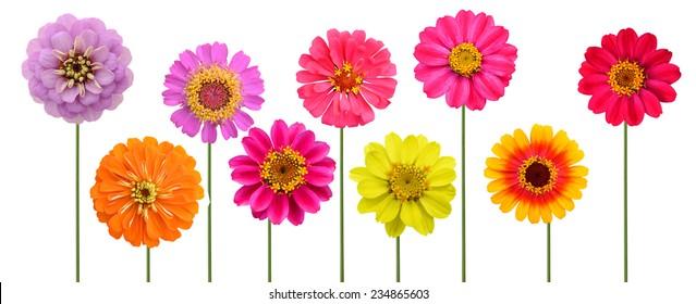 Set of zinnia flowers, zinnia planting in America