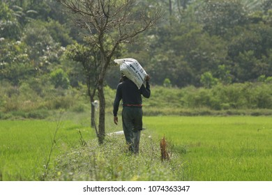 Setiu, Terengganu - 29th march 2018: a farmer carrying a beg of fertiliser on his back in the middle of green paddy field. Setiu is a place with agriculture industry.