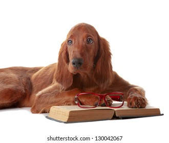 Setter puppy on white background in studio