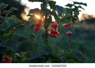 The setting sun illuminates the berries of red currant