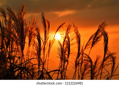 Setting sun and miscanthus sinensis