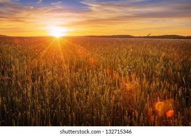 setting sun over ripe cereals field