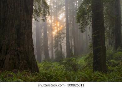 Setting sun through California ancient redwood grove.