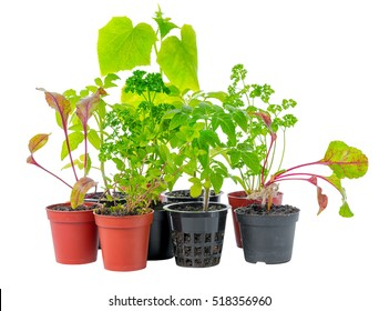 setting of young seedling of fresh green vegetable plant in flower pots, isolated on white background, close up