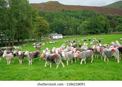 A settled flock of Herdwick Sheep resting in a pasture before being taken to be dipped to remove parasites from their wool and body, Grasmere, The Lake District, Cumbria, UK