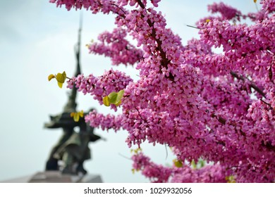 Sevastopol, Crimea 05/2017. Spring pink flowers Cercis canadensis (Eastern redbud) Judas tree (Cercis siliquastrum) branch little pink flowers. Close-up Judas tree in Sevastopol square. Eastern redbud
