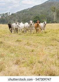 Seven 7 cows in a paddock of green grass in an Australian rural scene