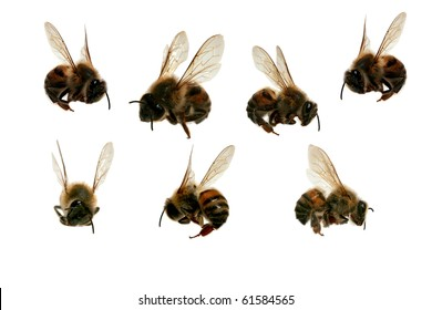 "Seven (7) Different Angles of a North American Africanized Honey Bee aka ""Killer Bee""   isolated on white"