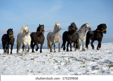 Seven big horses running along a snowy meadow