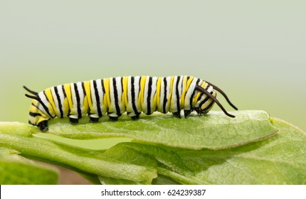 Seven days old Monarch caterpillar resting on a milkweed leaf, a side view
