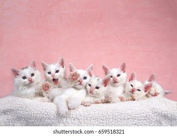 Seven fluffy white kittens laying on an off white sheepskin bed looking forward, pink background. One kitten yawning and stretching, looks like asking for help