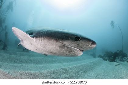 Seven gill or cow shark, swimming amongst the kelp forest in False Bay, Cape Town South Africa.