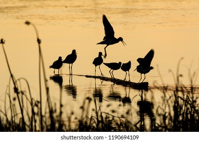 Seven greater yellowlegs shorebirds (Tringa melanoleuca) photographed in silhouette at sunset in early autumn at Fir Island Farms Reserve, Skagit County, Washington.