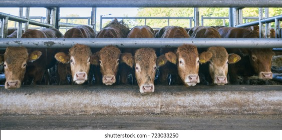 seven limousin cows wait for food inside open barn on organic farm in the netherlands near utrecht
