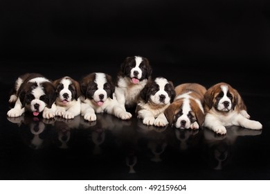 Seven little St. Bernard Puppies on a black studio background