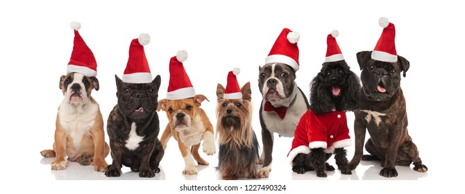 seven lovely santa dogs of different breeds sitting and standing on white background