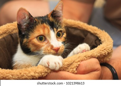 Seven months old multi colored calico kitten peeking out of the play bag held in hand