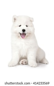 Seven months old Samoyed puppy dog isolated on white background