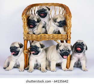 Seven puppies of breed a pug.