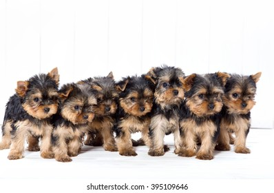 Seven puppies. Yorkshire terrier puppy on a white wooden background. Seven small dog puppies.