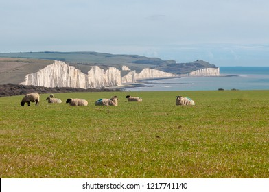 Seven sheep grazing on a hillside close to the chalk cliffs known as the Seven Sisters, on the south coast of England.