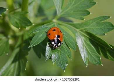 seven spot ladybird or ladybug very close up Latin coccinella 7-punctata family coccinellidae crawling on a green tree paeony leaf Latin paeonia in springtime