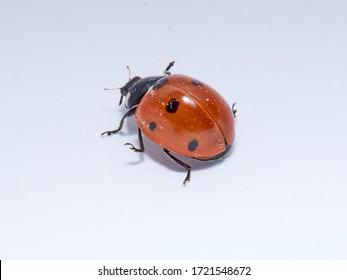 Seven spot ladybird in a white background. Macro photography. Coccinella septempunctata.