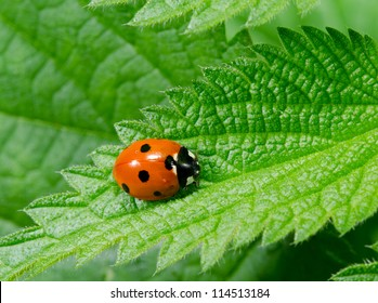 seven spotted ladybird portrait on stinging nettle from above