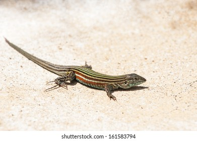Seven Stripe Whiptail rests  on the sand