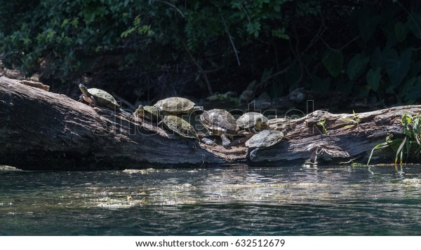 seven turtles on a large fallen log and one leading the pack