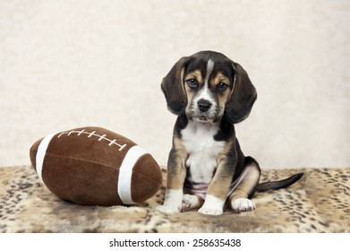 A seven week old beagle puppy posing with a toy football