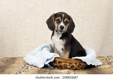 A seven week old Beagle puppy sitting in a basket with copy space