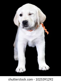Seven week old Labrador Retriever winking at you