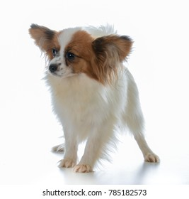 seven week old papillon puppy on white background