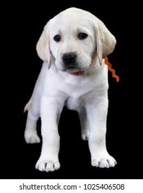 Seven week old Yellow Labrador Retriever puppy posing for the camera