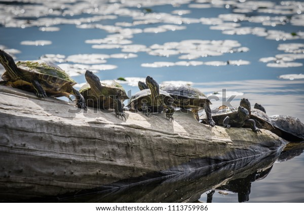 Seven Western Pond Turtles (Actinemys marmorata) on drift wood in Lake Washington, Seattle
