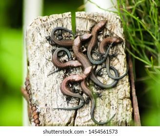 Seven young viviparous lizards on a wooden post. Environment, reptiles