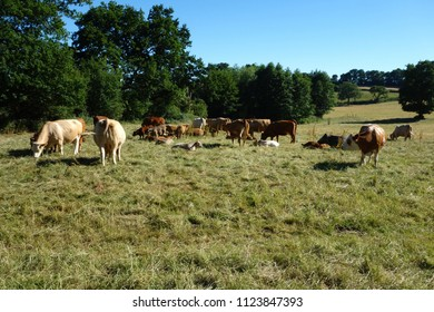 Sevenoaks, Kent, England -   June 26, 2018:  English dairy cows are renowned for the quality of their milk, in part due to the rich pastures they enjoy.