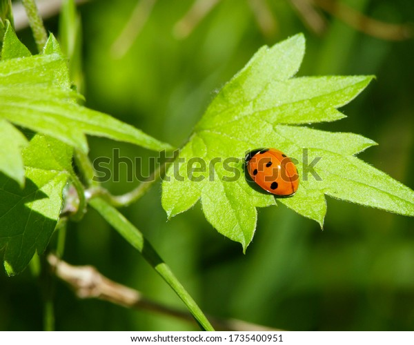 """""""Seven-spot Lady"""" on vegetation in Central Texas"""
