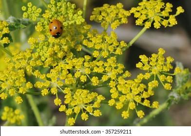 Seven-Spot Ladybird - Coccinella septempunctata on Wild Parsnip - Pastinaca sativa
