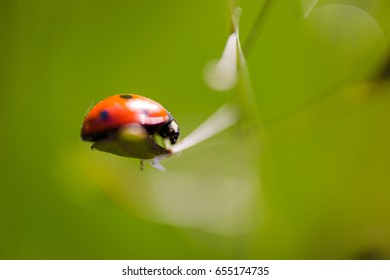 Seven-spot ladybird (Coccinella septempunctata) on grass leaf extreme macro. Horizontal low angle view
