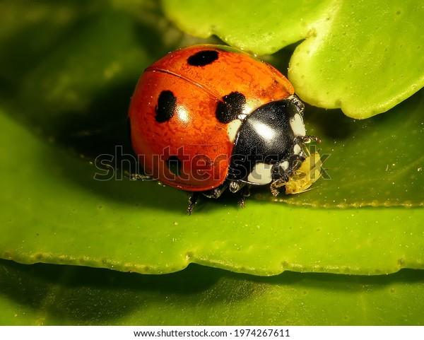 Seven-spot ladybird (ladybug), Coccinella septempunctata (Coleoptera: Coccinellidae). Eating aphids